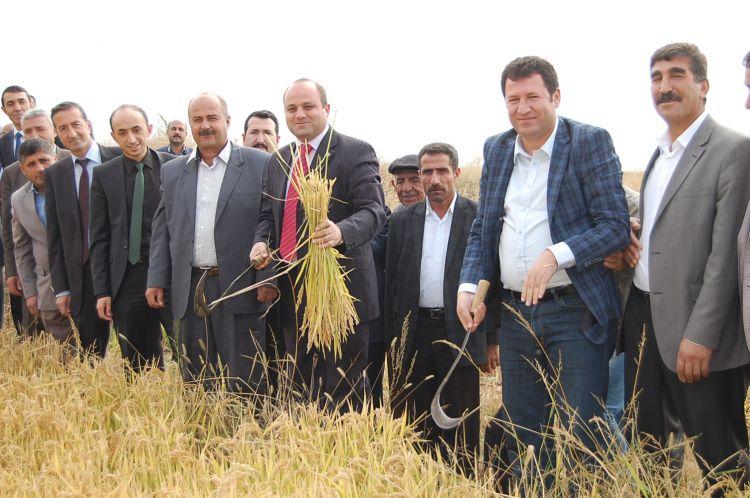 Güroymak'ta 65 Yıl Sonra Pirinç Hasadı Yapıldı